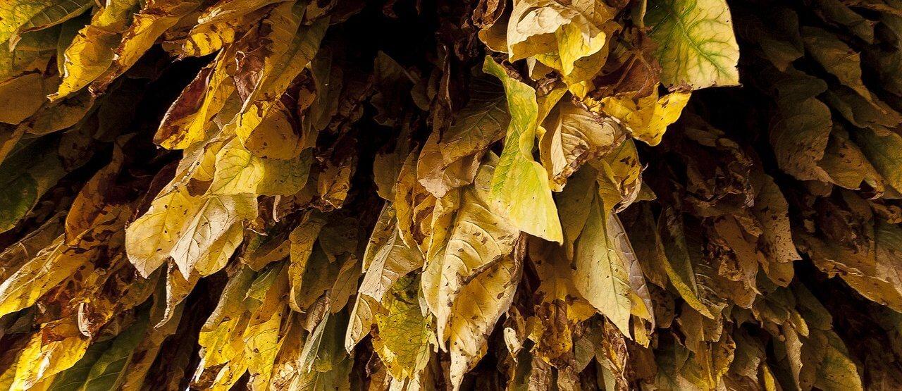 Blätter des Burley-Typ-Tabaks